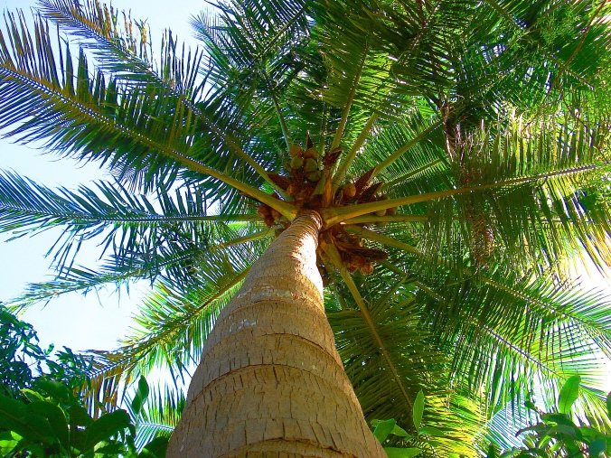 Coconut_Tree_in_Tamilnadu
