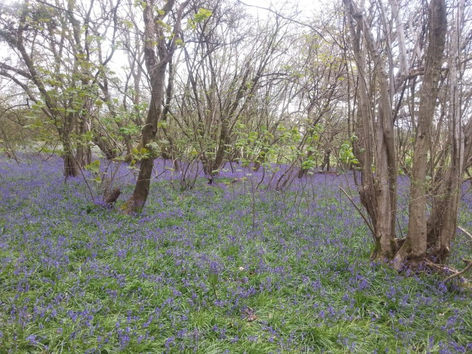 22 April - Bluebell carpet distance