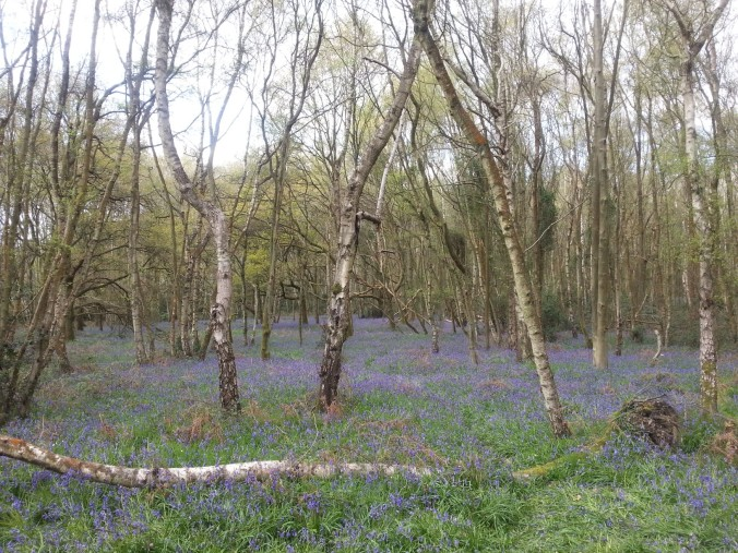 22 April - Bluebell carpet4