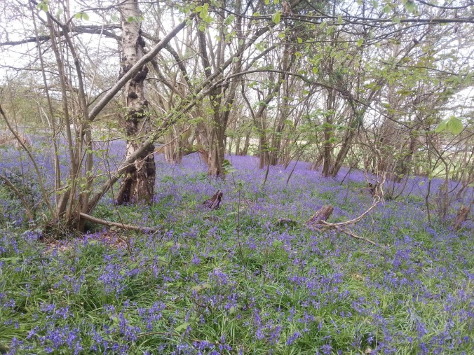 22 April - Bluebell carpet5