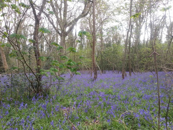 22 April - Bluebell carpet6