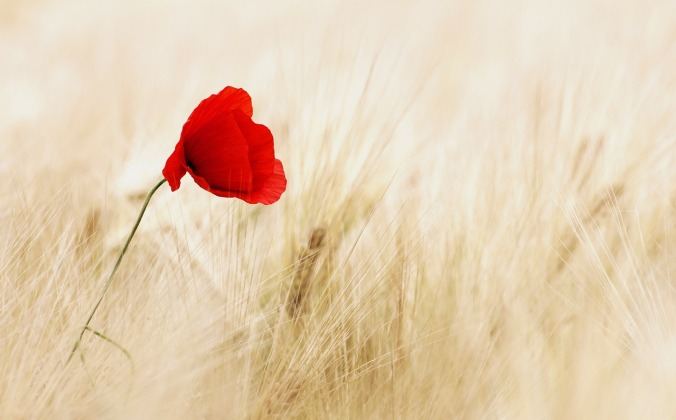 poppy-in-wheat-field