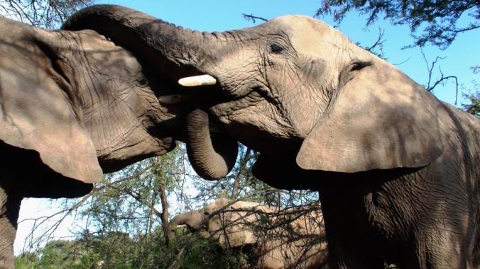 vulnerability-elephants