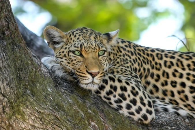 vulnerability-leopard